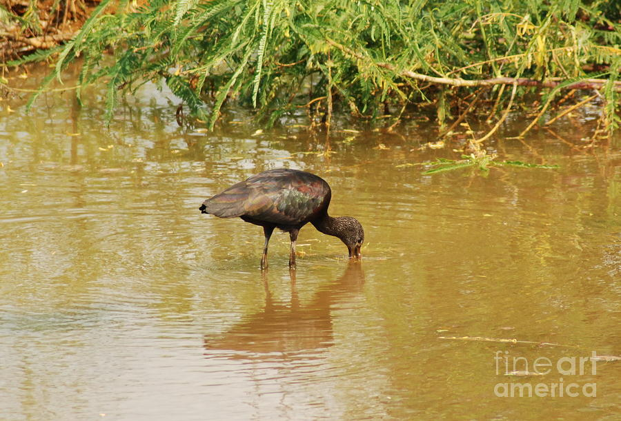 Glossy Ibis Photograph - Glossy Ibis  by Kathy Gibbons