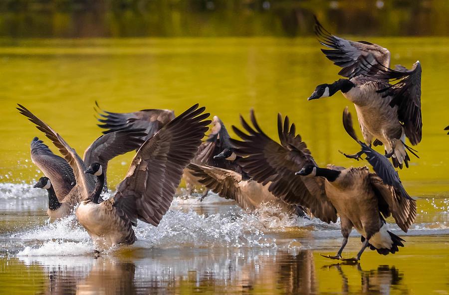 Golden Geese Photograph by Brian Stevens