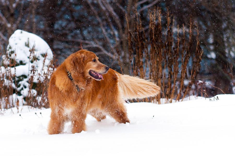 Dog Photograph - Golden Retriever In Snow by Matt Dobson