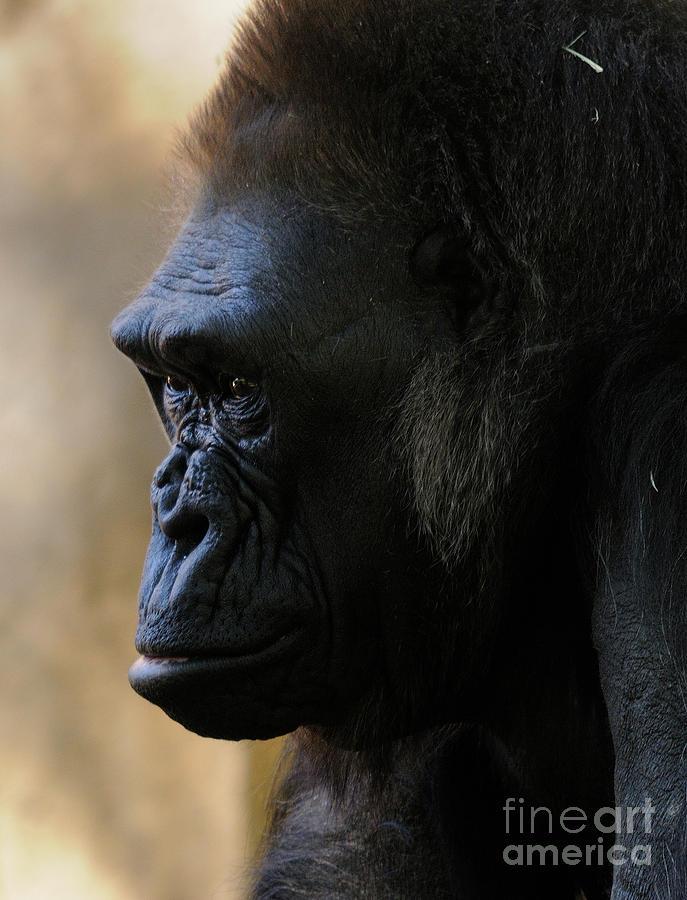 Gorilla Photograph - Gorilla by Marc Bittan