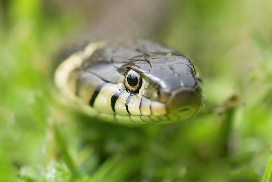 Grass Snake Photograph - Grass Snake by Adrian Bicker