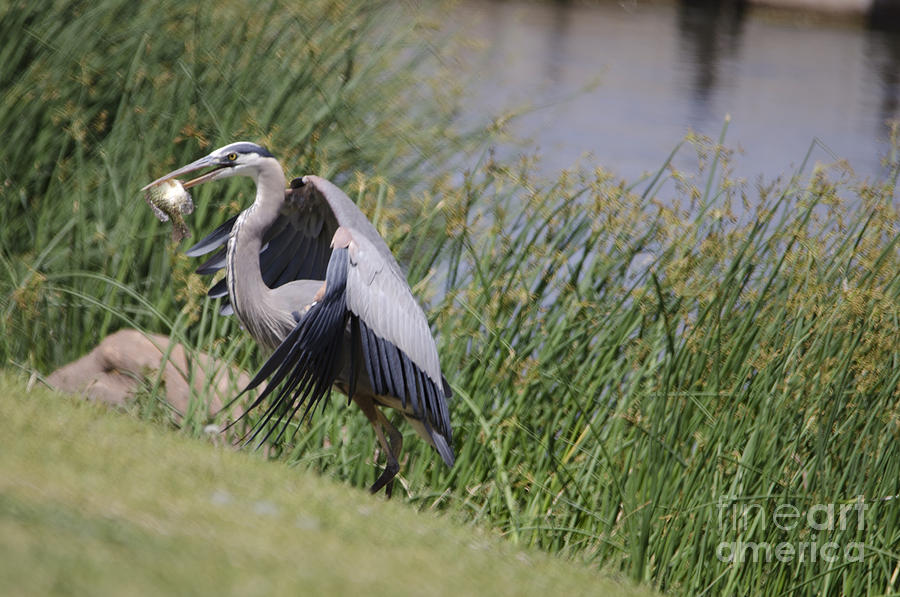 Bird Photograph - Great Blue Heron by Donna Greene