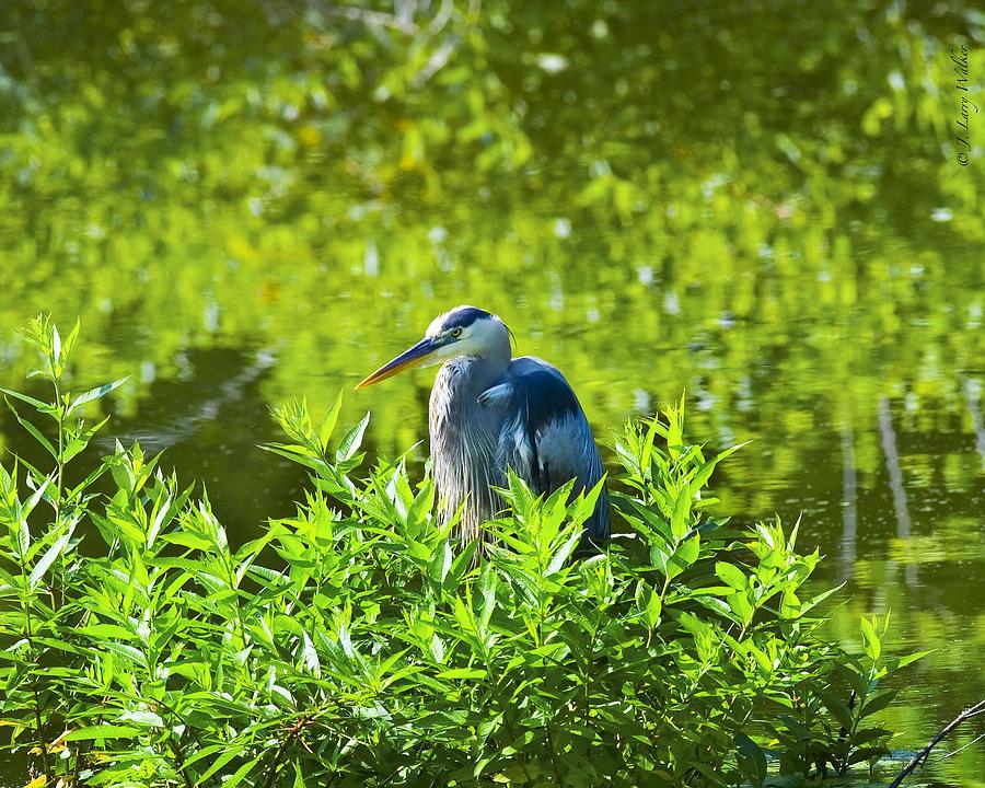 Walker Digital Art - Great Blue Heron Hiding by J Larry Walker
