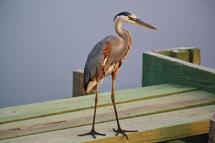 Great Blue Heron Photograph - Great Blue Heron On The Block by Paulette Thomas