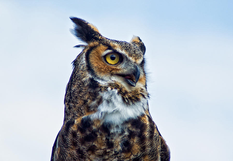 Great Horned Owl Photograph - Great Horned Owl by Linda Pulvermacher