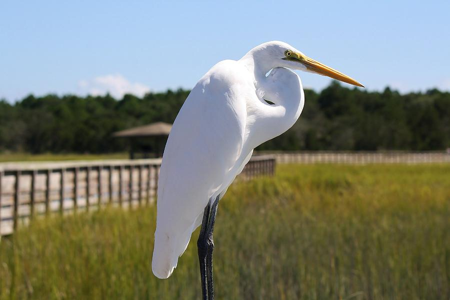 Great White Egret Photograph - Great White Egret In The Marsh by Paulette Thomas
