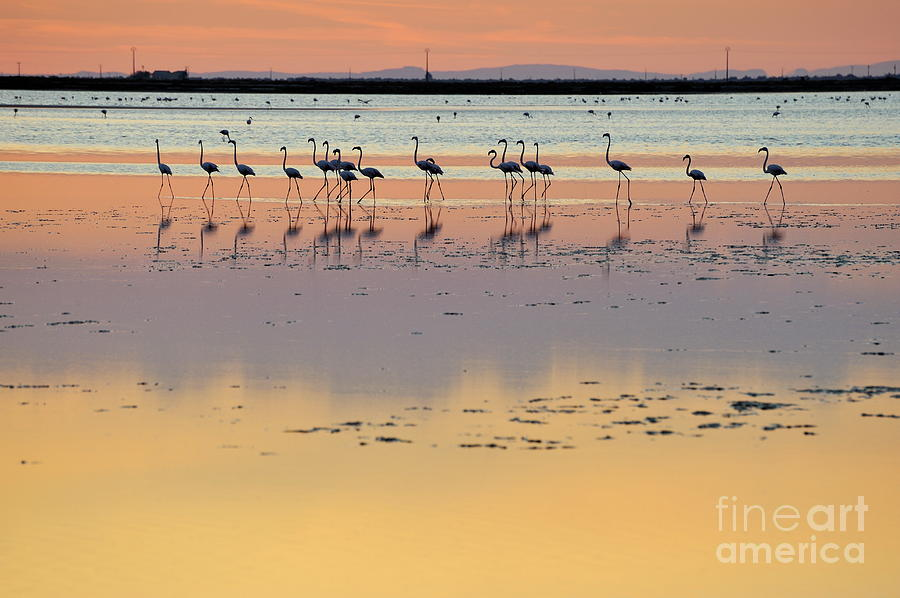 Beauty In Nature Photograph - Greater Flamingos In Pond At Sunset by Sami Sarkis