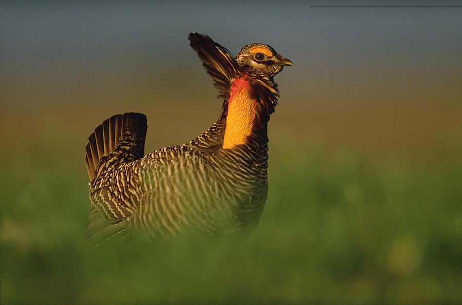 Animal Behavior Photograph - Greater Prairie Chicken Male by Tim Fitzharris