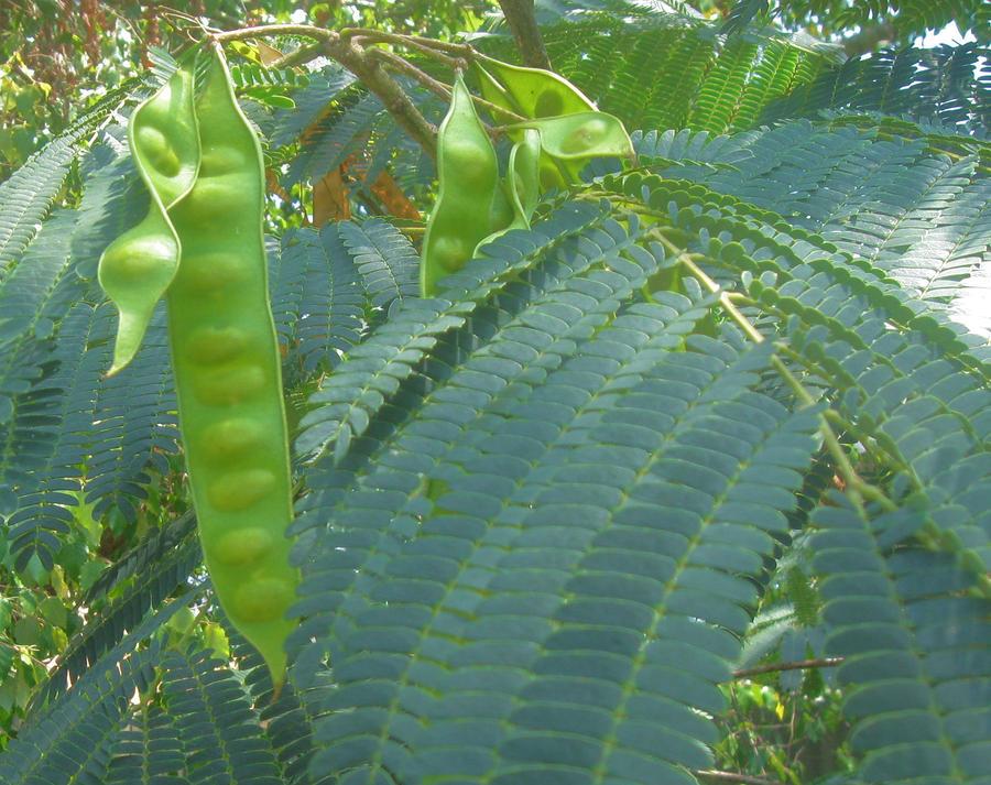 Plant Photograph - Green Pods by Juliana  Blessington