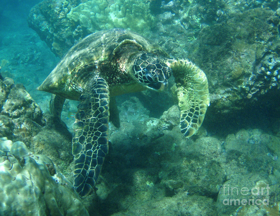 Green Photograph - Green Sea Turtle Hawaii by Bob Christopher