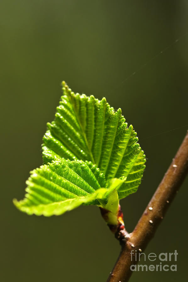 Green Photograph - Green Spring Leaves by Elena Elisseeva