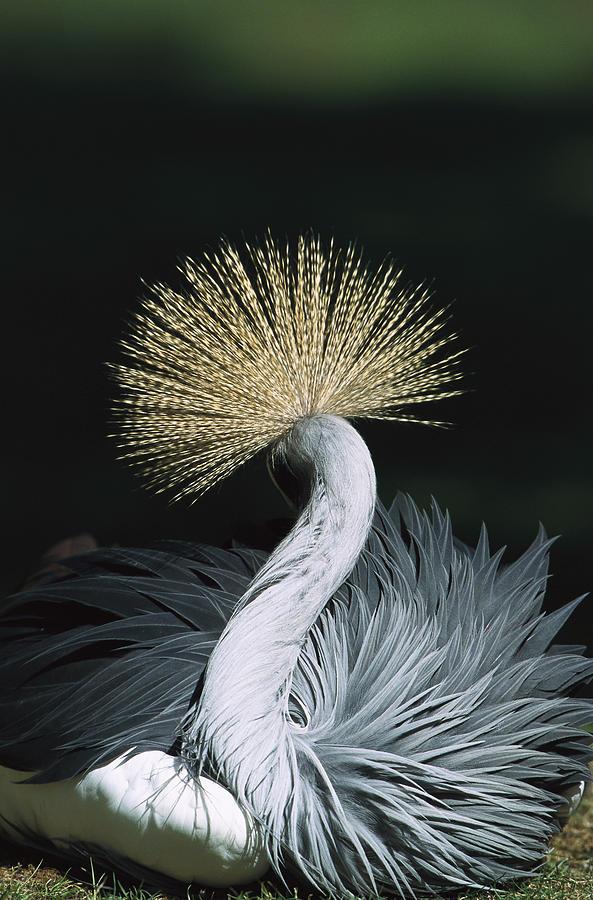 Mp Photograph - Grey Crowned Crane Balearica Regulorum by Konrad Wothe