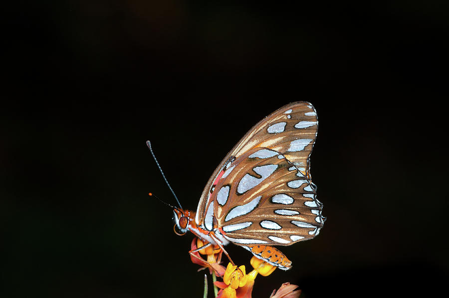 Horizontal Photograph - Gulf Fritillary Butterfly by Jim McKinley