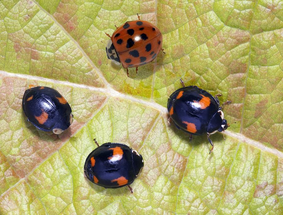 Beetle Photograph - Harlequin Ladybirds by Sheila Terry