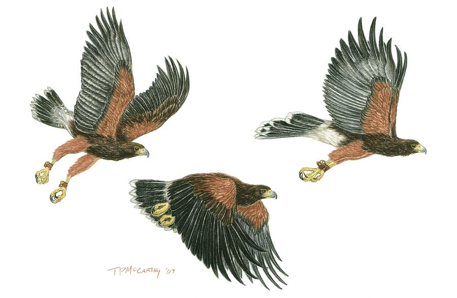Harris Hawk Drawing - Harris Hawk Cast by Tim McCarthy