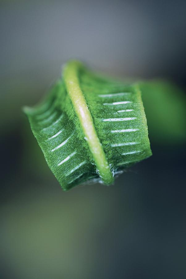 Phyllitis Scolopendrium Photograph - Harts Tongue Fern Unfurling by Colin Varndell