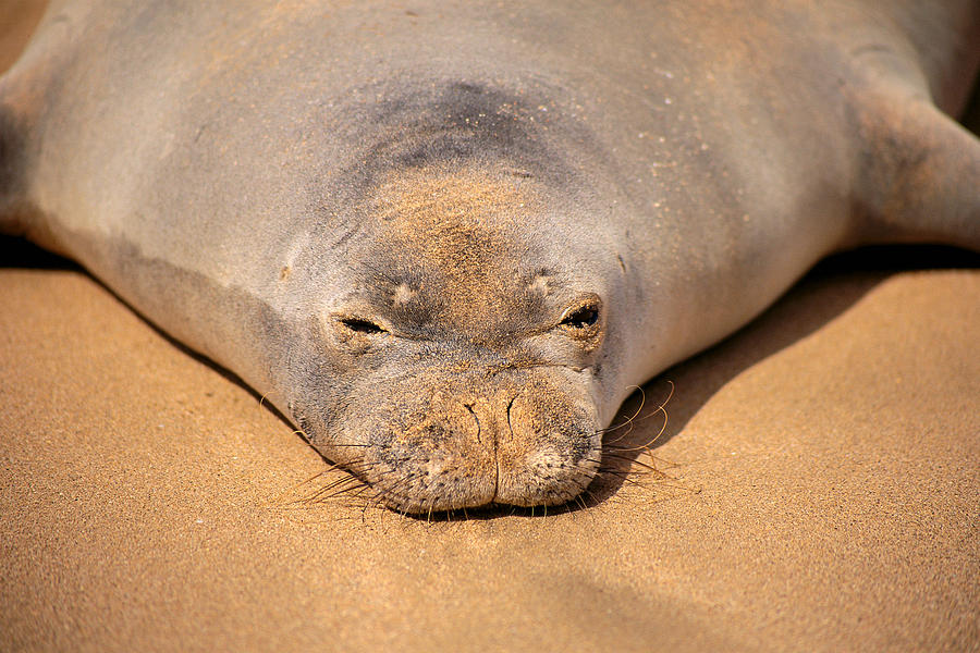 Animal Art Photograph - Hawaiian Monk Seal by Dave Fleetham - Printscapes