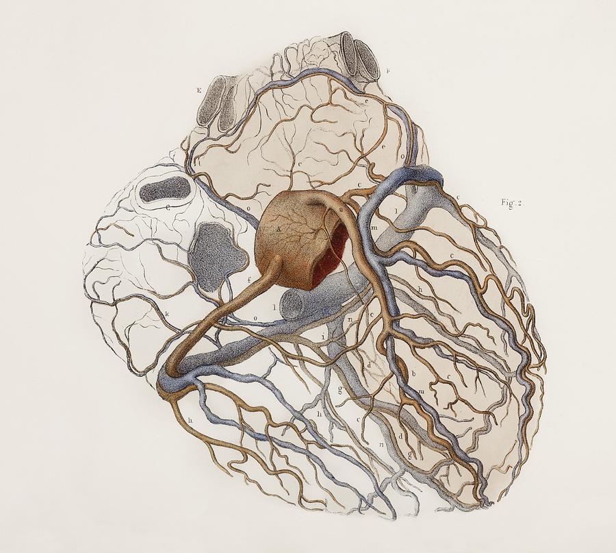 Heart Anatomy 19th Century Illustration Photograph By