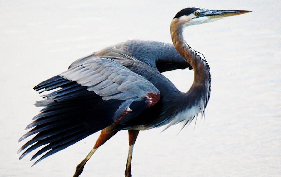 Great Blue Heron Photograph - Heron by Paulette Thomas