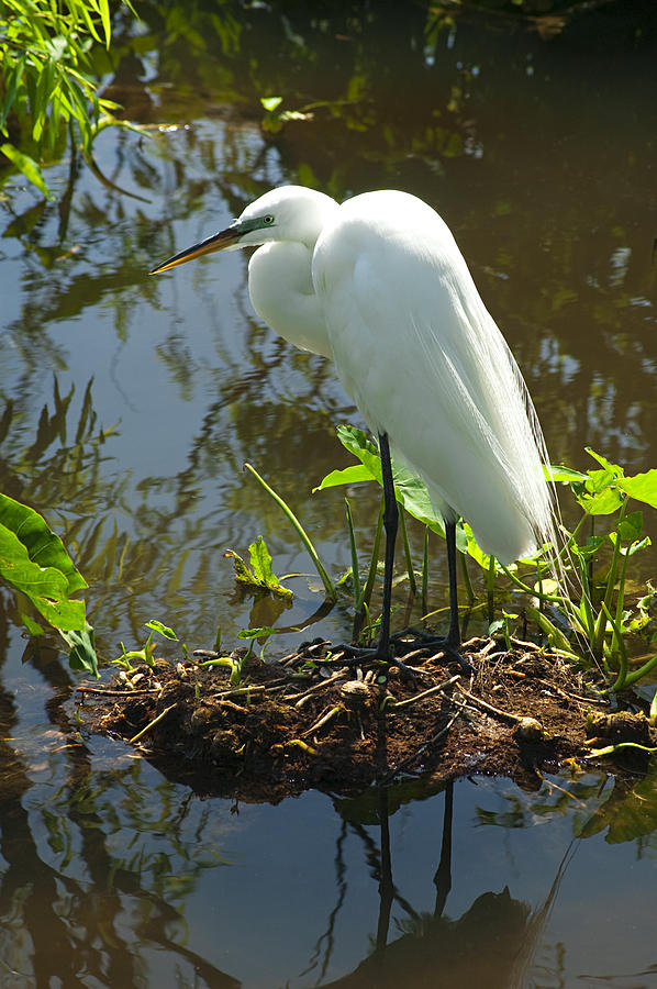 Great White Egret Photograph - Hiding Place by Carolyn Marshall