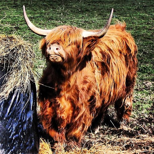 Highlands Photograph - Highlands Cow by Luisa Azzolini