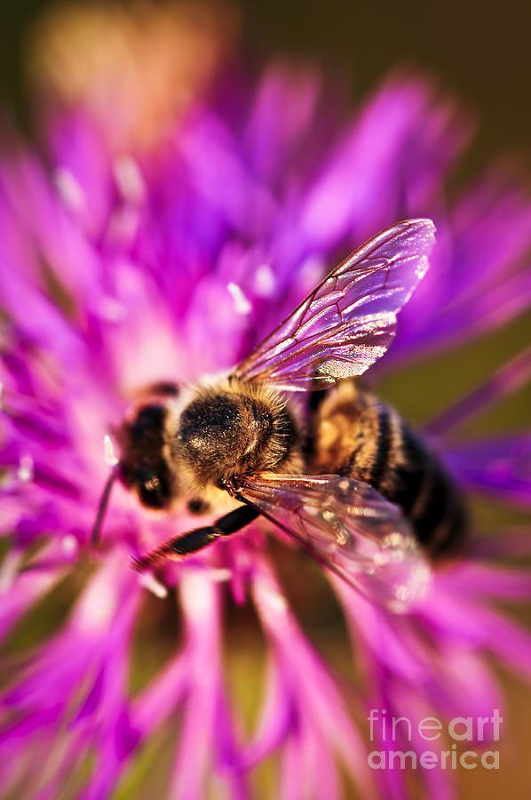 Honey Photograph - Honey Bee  by Elena Elisseeva