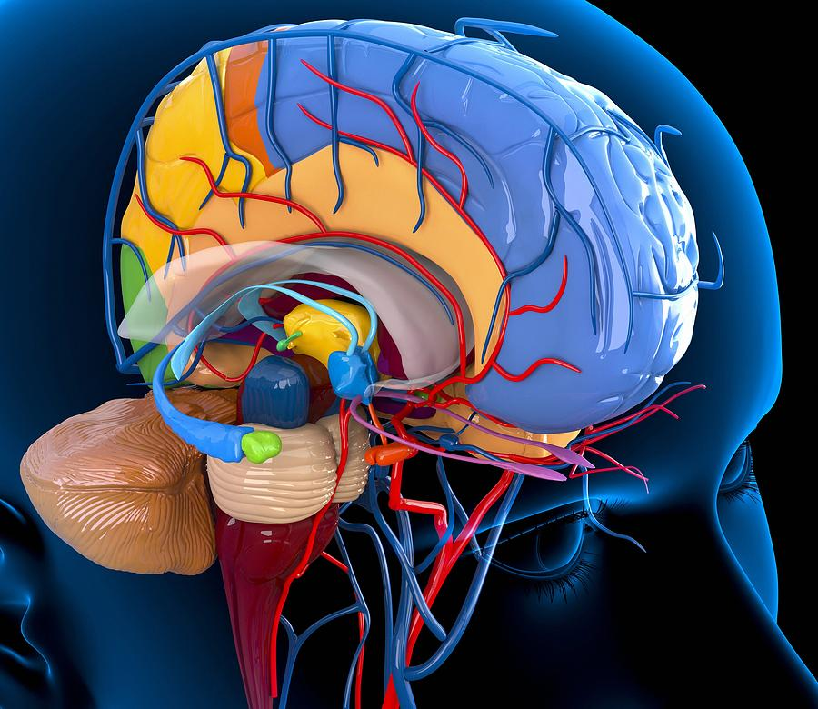 Human Photograph - Human Brain Anatomy, Artwork by Roger Harris