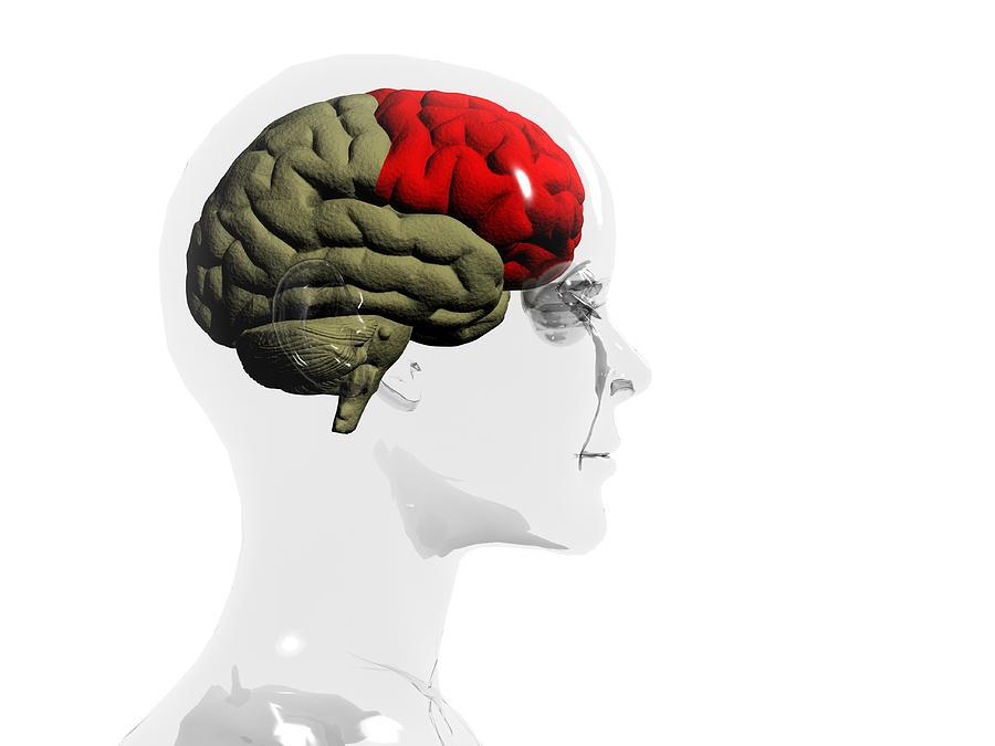 Human Body Photograph - Human Brain, Frontal Lobe by Christian Darkin
