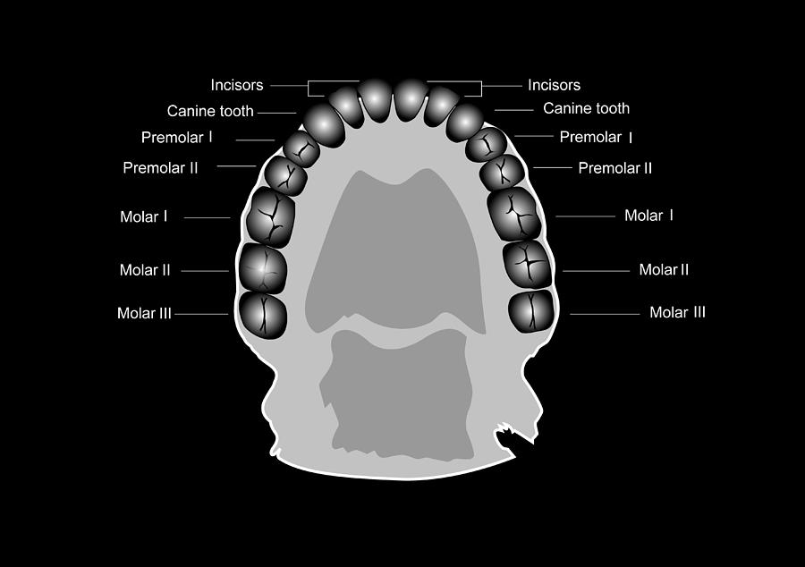 Human Tooth Anatomy  Diagram Photograph By Francis Leroy