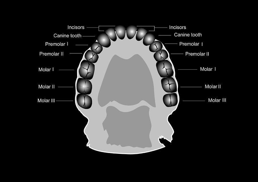 Human Tooth Anatomy Diagram Photograph By Francis Leroy Biocosmos