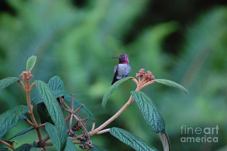 Hummingbird Photograph - Hummingbird by Marsha Thornton