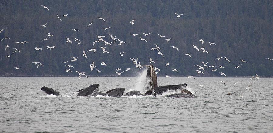 Humpback Whale Megaptera Novaeangliae Photograph by Matthias Breiter