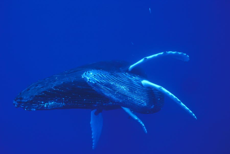Humpback Whale Mother And Calf Off Maui Photograph by Flip Nicklin