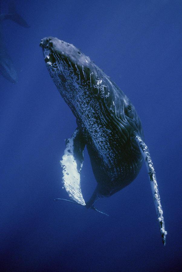 Humpback Whale Singer Maui Hawaii Photograph by Flip Nicklin