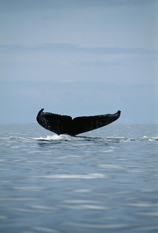 Humpback Whale Photograph - Humpback Whale Tail by Alexis Rosenfeld