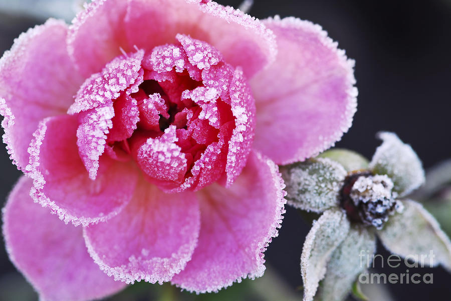 Rose Photograph - Icy Rose by Elena Elisseeva