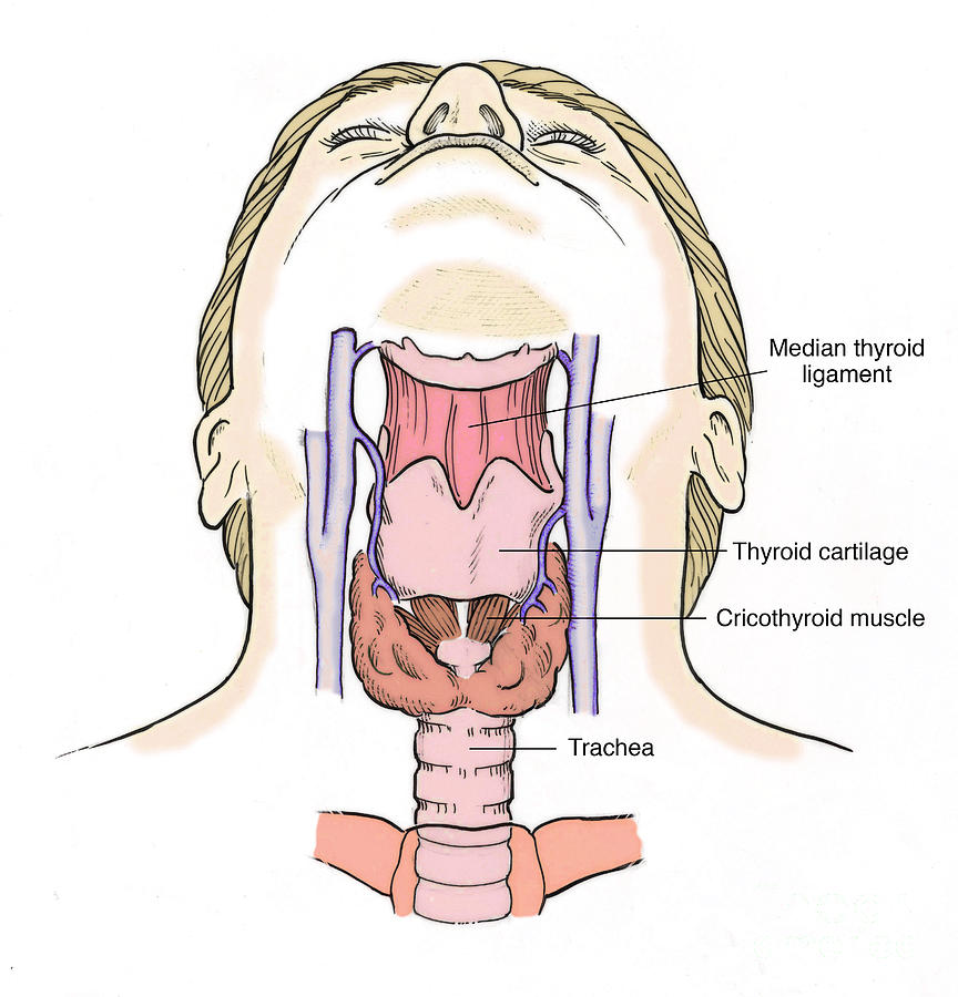 Illustration of throat anatomy photograph by science source anatomy photograph illustration of throat anatomy by science source ccuart Gallery
