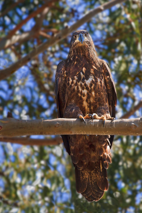 Tree Photograph - Immature Bald Eagle by Beth Sargent