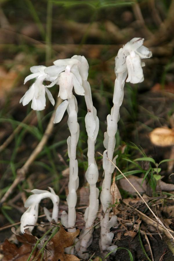 Indian Pipe Plant Photograph By Rick Rauzi