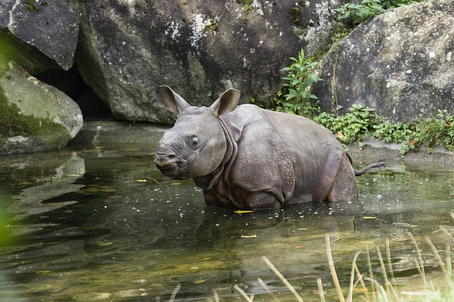 Mp Photograph - Indian Rhinoceros Rhinoceros Unicornis by Konrad Wothe