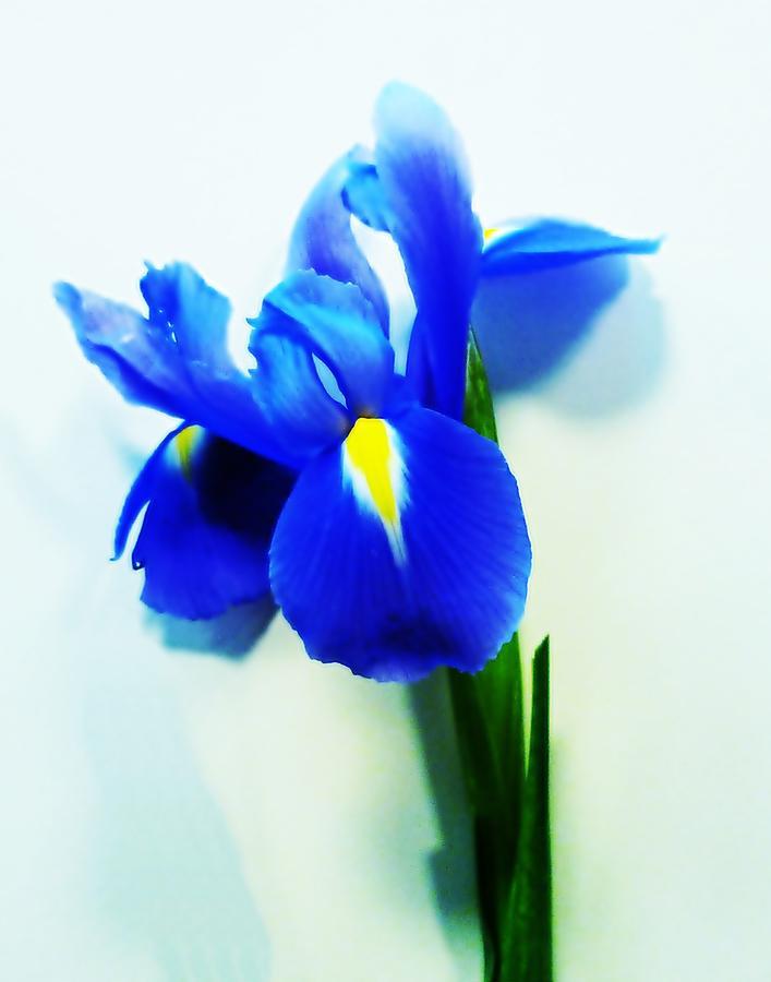 Iris Photograph - Iris by Sharon Lisa Clarke
