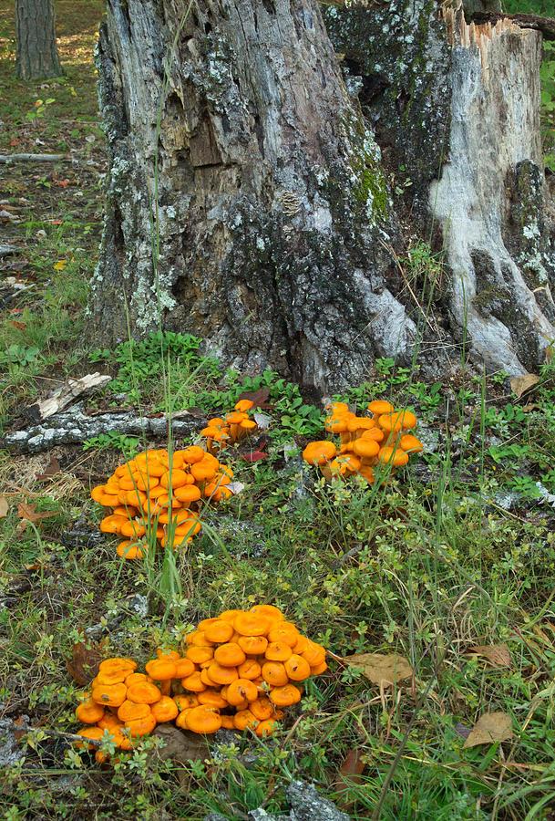 Omphalotus Photograph - Jack Olantern Mushrooms 16 by Douglas Barnett