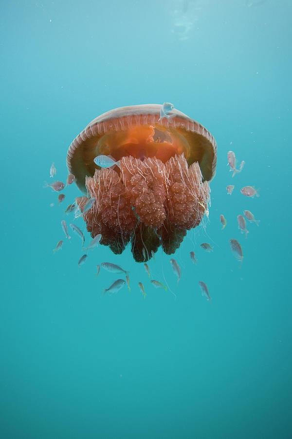 Vertical Photograph - Jelly Fish by Scott Portelli