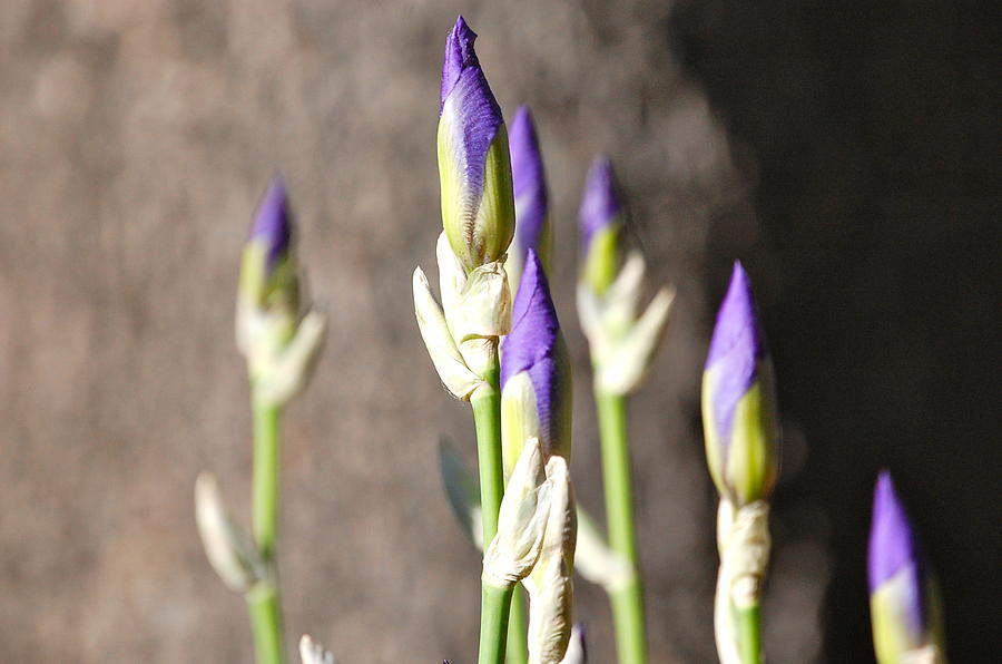 Lavender Iris Buds by Mary McAvoy