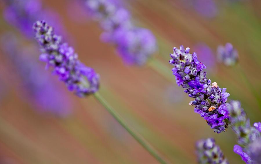 Reflections Photograph - Lavender Portrait by Manju Shekhar