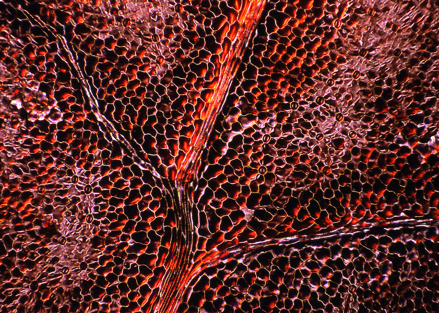 Cell Photograph - Leaf Anatomy, Light Micrograph by Dr Keith Wheeler