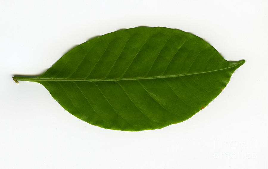 Leaf Of A Coffee Plant Coffea Sp By Ted Kinsman