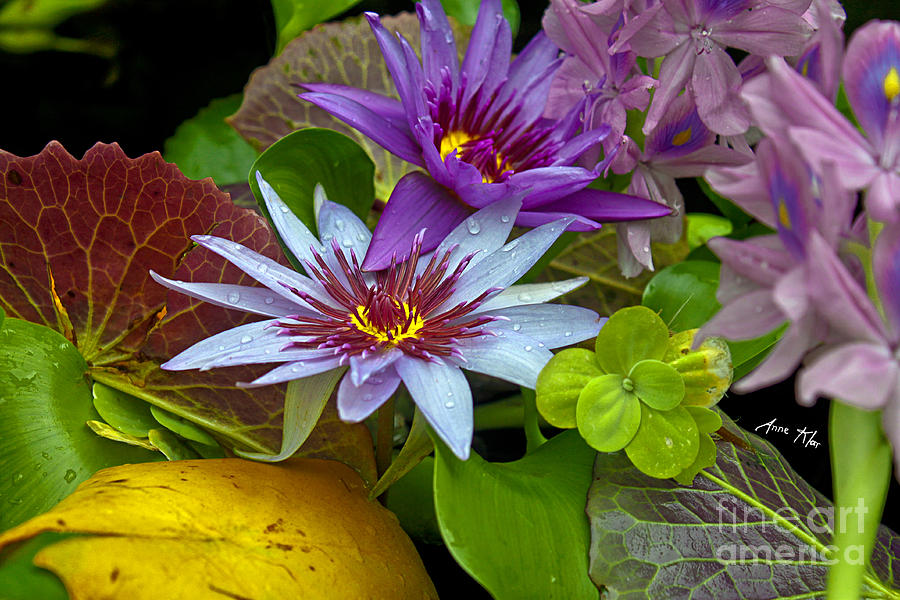 Blue Water Lily Photograph - Lilies No. 32 by Anne Klar