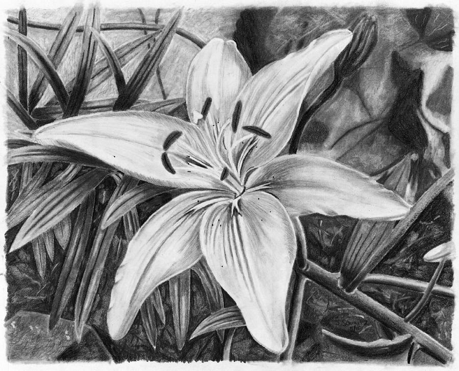 Pencil Drawing - Lily by Susan Schmitz