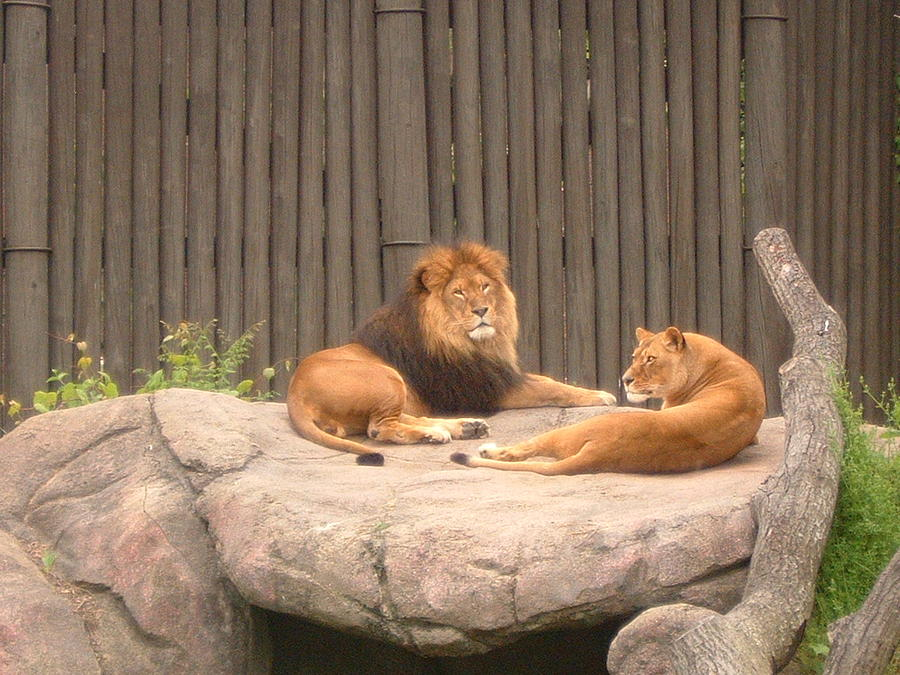 Lion Photograph - Lions - The Happy Couple Relaxing - Cleveland Metro Zoo 1 by S Taylor